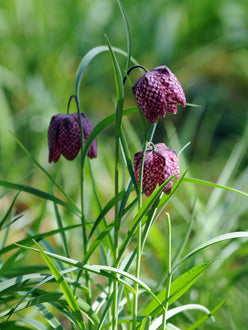 Fritillaria Meleagris Flower Bulbs