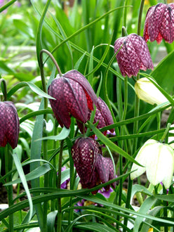 Bulbs Fritillaria Meleagris