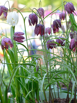 Flower Bulbs Fritillaria Meleagris
