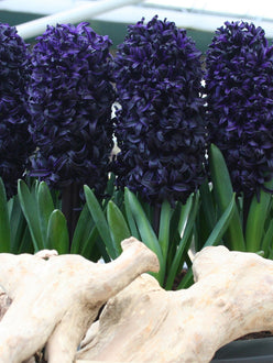 Hyacinth Dark Dimension Bulbs