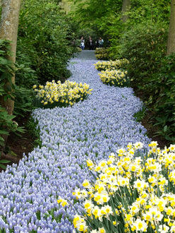 Light Blue Muscari