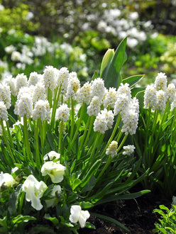 White Grape Hyacinths Flower Bulbs | DutchGrown™
