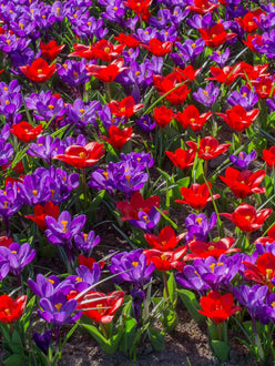 Red and blue flower flower bulbs mix