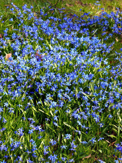Buy siberian squill bulbs from Holland
