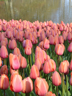 Buy Apricot Impression Tulip Bulbs with delivery in the UK