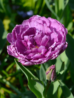 Tulip Bulbs Blue Diamond