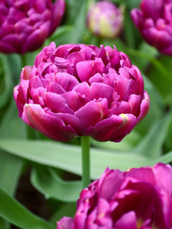 Double Peony Tulip Blue Diamond