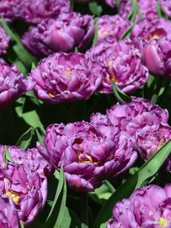 Blue Diamond Tulip Bulbs