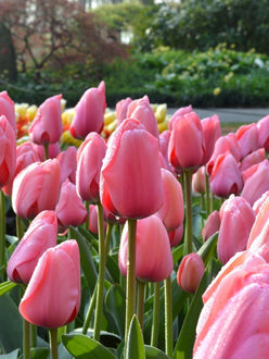 Tulip Pink Impression UK Delivery