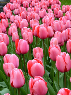 Darwin Tulip Bulbs Pink Impression UK Delivery