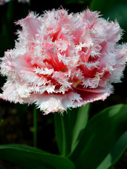 Tulip Bulbs Queensland