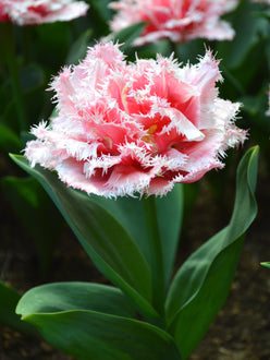 Tulip flower bulbs queensland