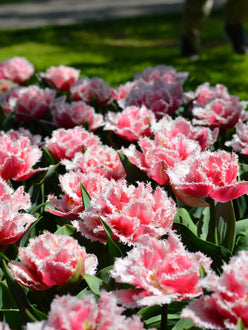 tulip queensland flower bulbs