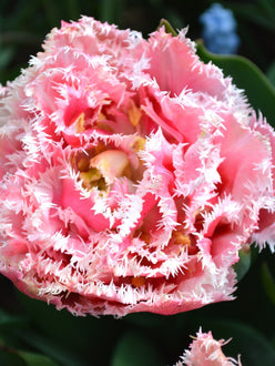 Tulip queensland bulbs UK shipping