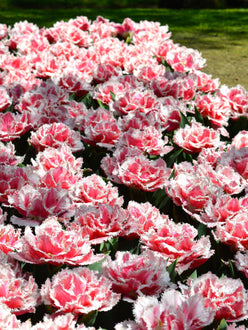 tulip queensland bulbs UK Delivery