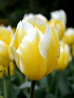 Tulip Bulbs Sweetheart