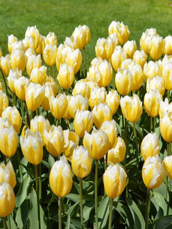 Buy Tulip Flower Bulbs Sweetheart