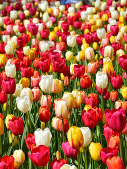 Single Late Tulip Bulbs from Holland - UK Delivery