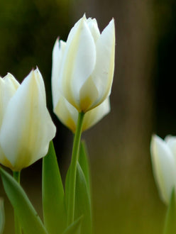 White Emperor Tulip Bulbs UK Delivery