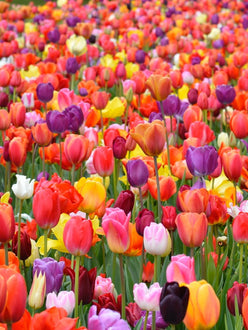 Eternal Spring Tulip Mix - Tulip Bulbs