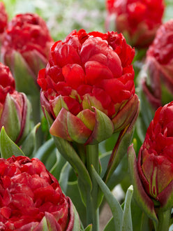 Tulip Bulbs Ice Cream Strawberry red
