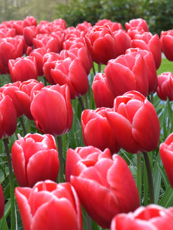 Tulip Bulbs - Kung Fu - UK Delivery