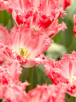 Fringed Pink and White Tulip Bulbs Neglige - UK Shipping