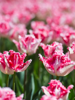 Tulip Bulbs Neglige for UK Delivery