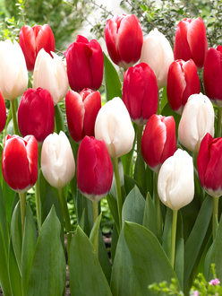 Tulip Candy Cane Collection - Red and White Mix - DutchGrown™