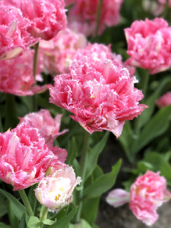Buy tulip bulbs Crispion Sweet for delivery in the UK