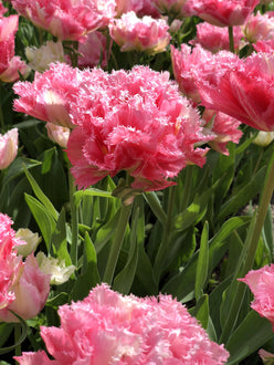 Buy tulip bulbs from Holland Crispion Sweet