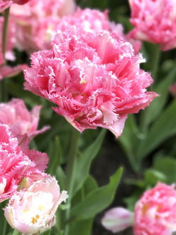 Exclusive Tulip Crispion Sweet - Fringed Peony Pink Tulips