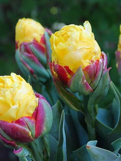 Tulip Bulbs Ice Cream Banana - UK delivery