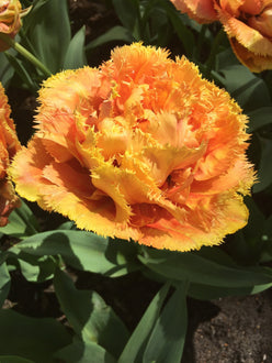 Tulip Sensual Touch - Double Fringed Orange Peach Tulip UK Shipping