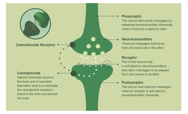 CBD oil enters the body through receptors in the endocannabinoid system