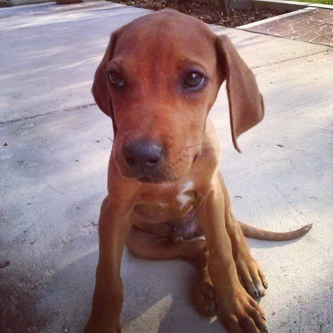 New  Rhodesian Ridgeback Puppy In Home