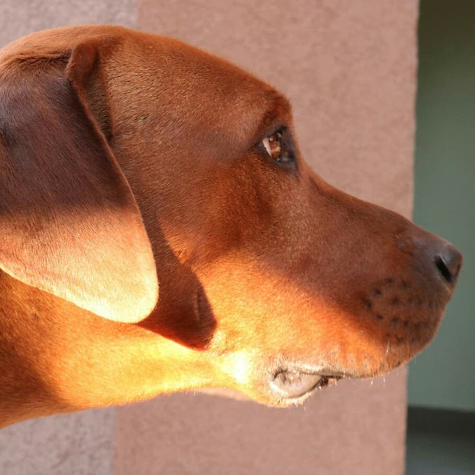 Meet some of the people who started the Rhodesian Ridgeback breed