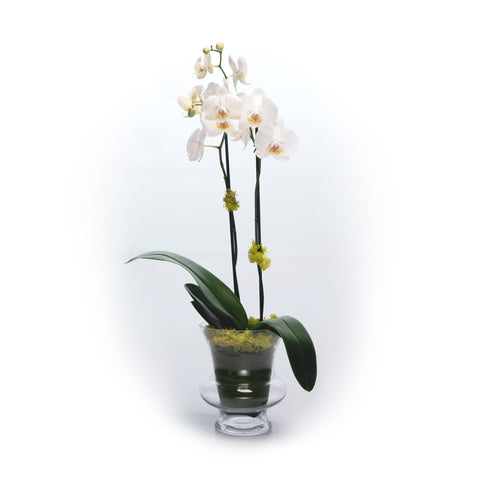 Phalaenopsis Orchid in Glass Urn