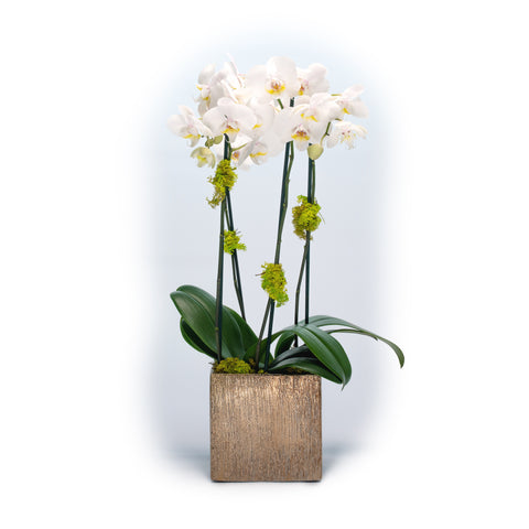 Phalaenopsis Orchid in Gold Ceramic Cube
