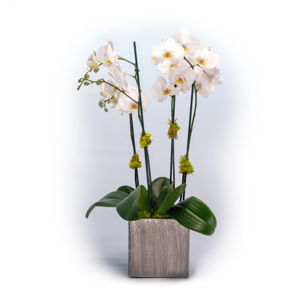 Phalaenopsis Orchid in Silver Ceramic Cube