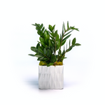 ZZ Plant in White Ceramic Cube