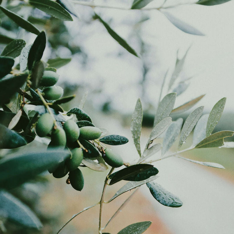 Chloride pictured as a close up of olives growing on an olive tree
