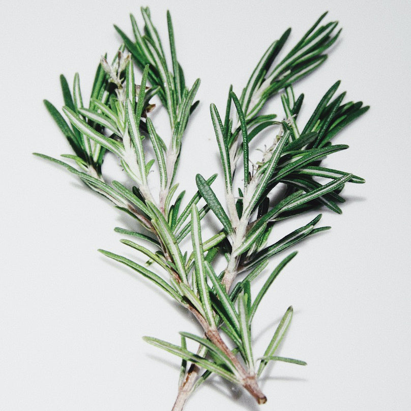 Rosemary pictured as a a bushel of rosemary on a white background