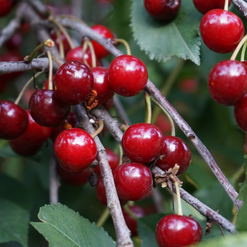 Several cherries growing on a tree branch