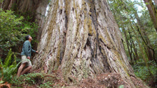 Load image into Gallery viewer, Coast Redwood by MegaSeeds™ (25 seeds) - Tallest Trees on Earth