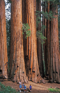 Coast Redwood by MegaSeeds™ (25 seeds) - Tallest Trees on Earth