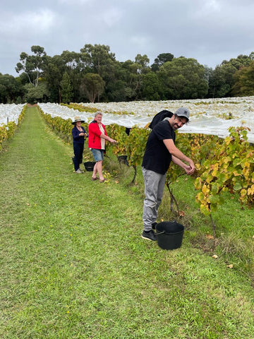 Family and friends help Staindl Wines pick their grapes at the right time for harvest