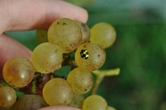 Close up of white bunch featuring a happy yellow-and-black ladybug perched on a grape