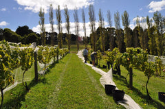 Pickers reveal Staindl Wines vines to remove grapes on a sunny day while poplars tower in the background