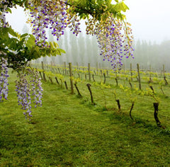 Verdant Staindl Wines vines sit in mist with purple wisteria framing them in the foreground